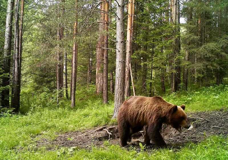 Бурый медведь в Валдайском заповеднике